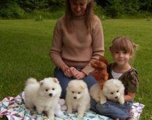 American Eskimo Puppies For Adoption -
