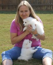 Beautiful male and female Japanese Spitz puppies for adoption