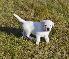 Beautiful Male and Female Labrador Retrierver puppies Now Ready