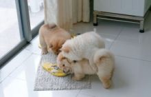 Cute chow chow puppies ready black cream white red and tan