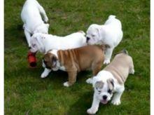 English Bulldog Puppies Available -