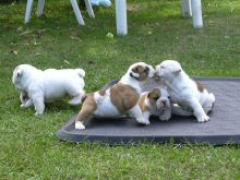 English Bulldog Puppies Available -