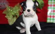 C.K.C Male/Female Boston Terrier Puppies Now Ready For Adoption