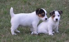 Lovely Jack Russell Terrier Puppies ready