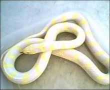 Albino Striped CA King Snakes//l.ucy.jackie9@gmail.com