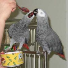 A pair of Congo African Grey Parrotse//lucyj.ackie9@gmail.com