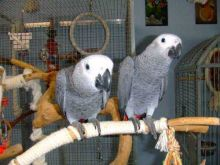 Friendly male and female Congo African Grey Parrots/lucyj.ackie9@gmail.com