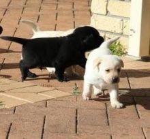 male and female Labrador Retriever Puppies