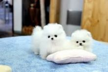 Priceless White Pomeranian Puppies male and female