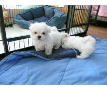 Snow whitw Maltese Puppies Needs a New Family