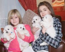 Well socialized white Bichon Frise Pups ready