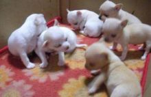 White apple Head Chihuahua Puppies male and female Ready