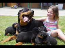 Top quality Rottweiler puppies(100% Purebred). Image eClassifieds4U