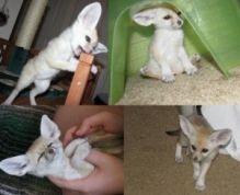 Sweet Male and Female fennec fox which are available for adoption.