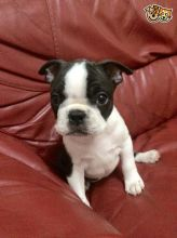 hc-hsf4 Clear Quality Boston Terrier Puppies