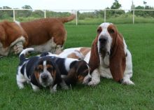 healthy Pure breed Basset Hound Puppies Male and Female