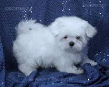 lovely Maltese male and female 3 months Puppies looking for good home