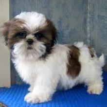 Nice Shih Tzu Puppies