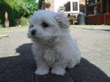 Rare Volpino X Pomeranian Pups
