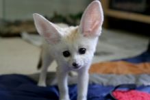 TICA Registered Fennec foxes
