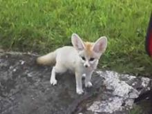 Waterloo fennec Foxes