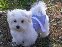 lovely Maltese male and female 3 months Puppies looking for good home Image eClassifieds4u 2