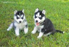 Nice Shih Tzu Puppies Image eClassifieds4u 2