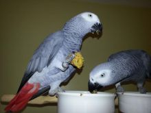 A Pair Of Talking African Grey Parrots in ANCHORAGE AK,/amandalucys1@gmail.com
