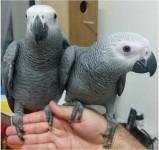 Congo African Grey Parrot Available//amandalucys1@gmail.com