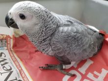 Beautiful African Grey Parrot///amandalucys1@gmail.com