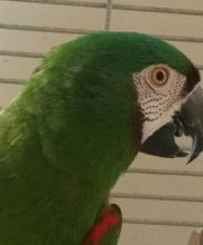 Beautiful Chestnut Fronted Macaw Parrot//amandalucys1@gmail.com