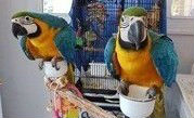 Blue And Gold Macaw With Large Cage//amandalucys.1@gmail.com
