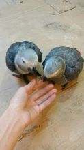 Congo Red Tail parrots//amandalucys1@gmail.com