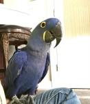 2//african grey parrots//amandalucys1@gmail.com