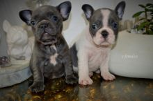 Blue Tan Sable Frenchie Puppies Ready Now!