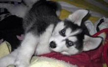 Charming Siberian Husky Puppies for Sale (443) 453-5711