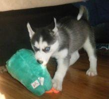 Siberian Husky Puppies Blue eyes Ready (443) 453-5711