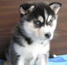 Well Trained Siberian Husky Pups for Adoption (443) 453-5711