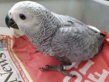 Beautiful African Grey Parrot///amandalucys1@gmail.com Image eClassifieds4U