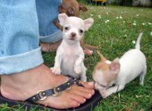 Tea Cup Chihuahua Puppies Kc & Pedigree Puppies text (251) 237-34