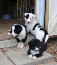 Border Collie Puppies Manitoba Best Photos Of Border Imagedge Org