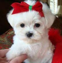 White Maltese Puppies Ready