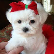 White Maltese Puppies Ready Image eClassifieds4u