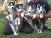 Amazing, Outstanding Akc registered Siberian Husky Puppies For Adoption