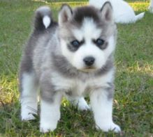 Super Adorable C.K.C Pomsky Puppy Ready For Home Adoption