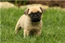 Available Pug Puppies