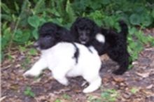 Intelligent and Standard Poodle Puppies for Adoption