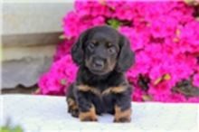 Absolutely Dachshund Puppies Available