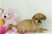 Adorable Puggle Puppies Available