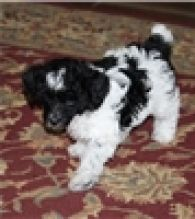 AKC Awesome Poodle, Toy